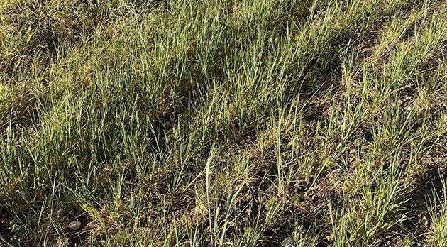 Kuraklık nedeniyle ekili alanlar kuruyor! Hasat zamanı işlenecek ekin kalmayacak..